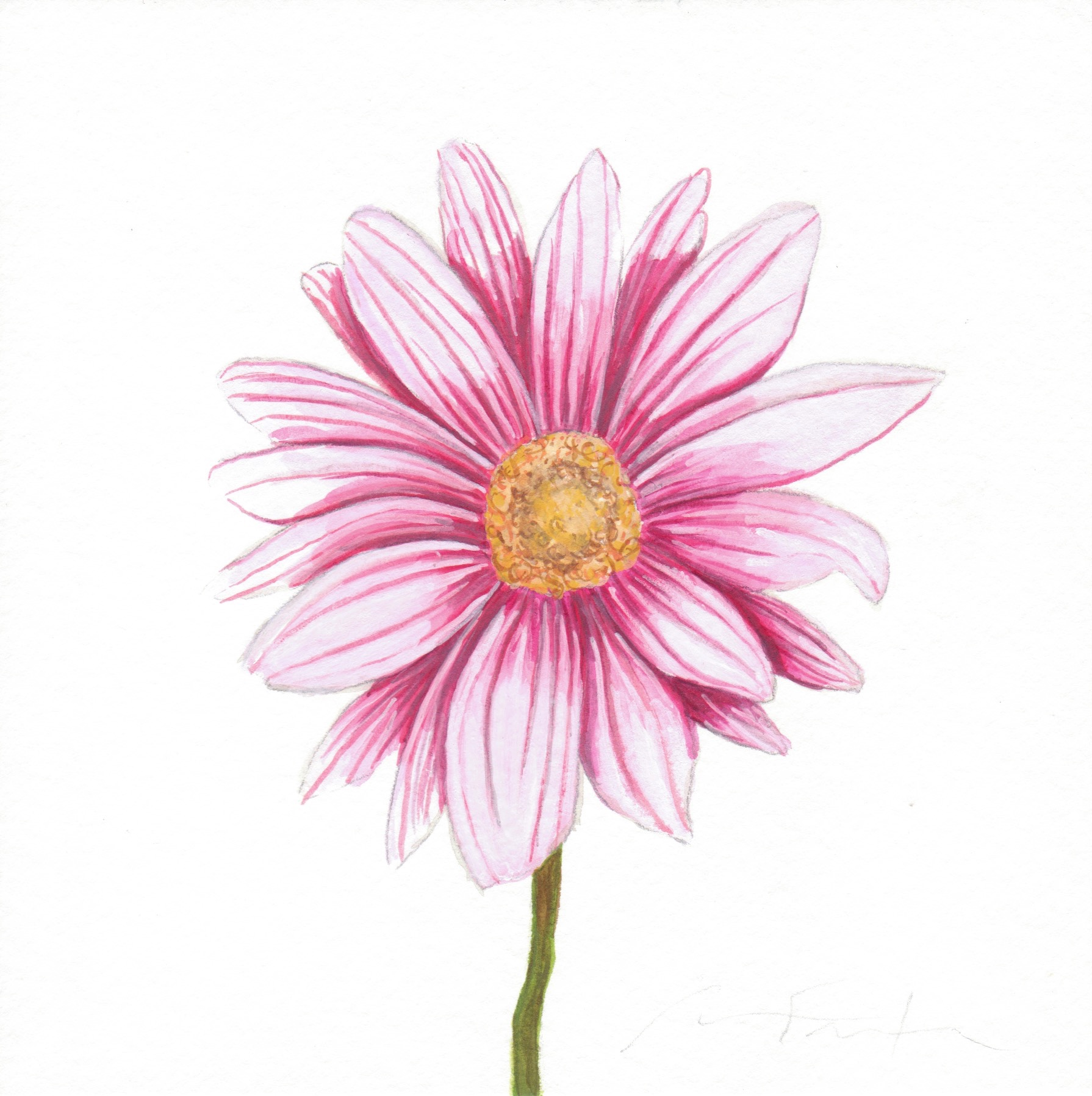 Pink Flower Watercolor Study Angela Faustina