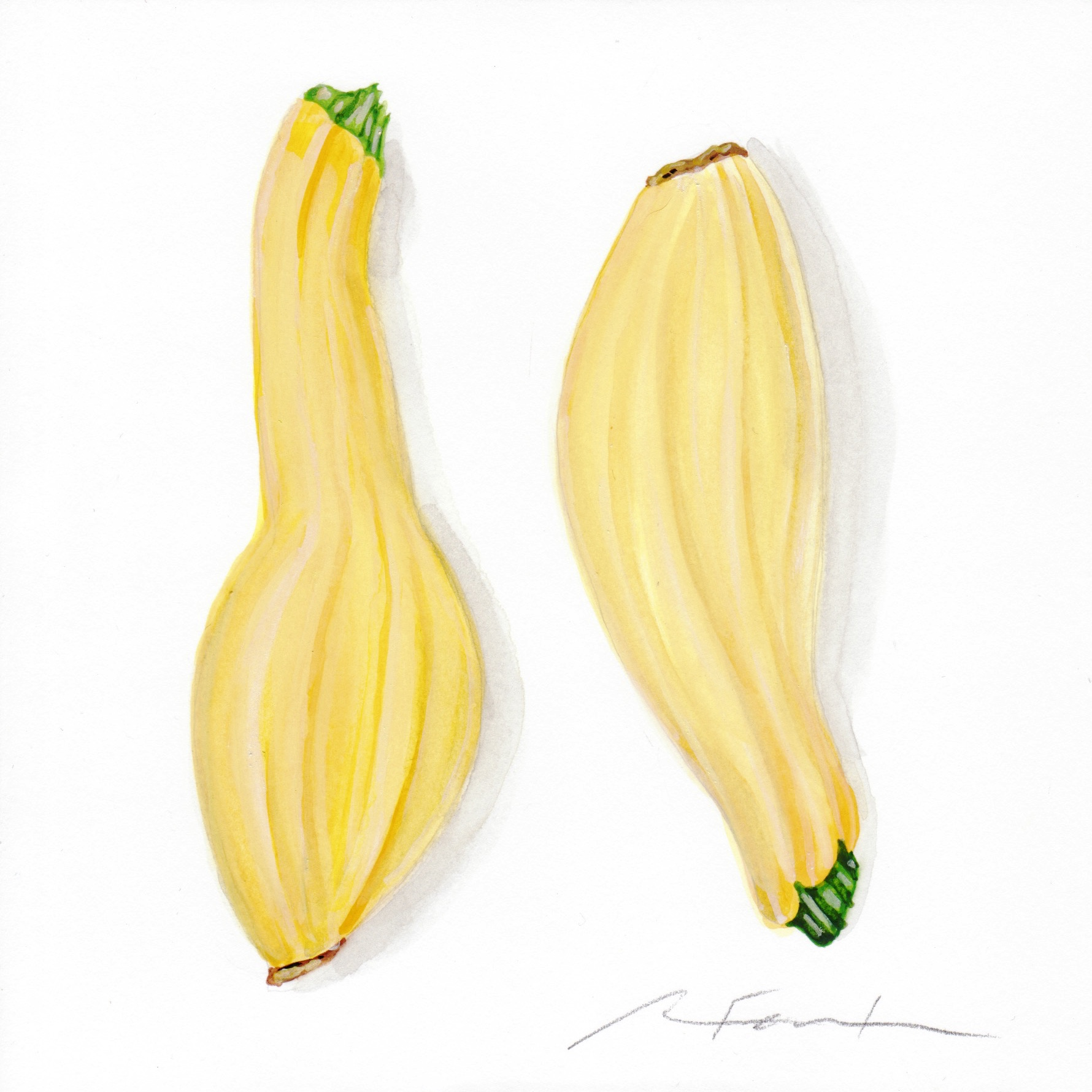 Yellow squash watercolor study